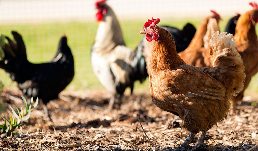Chicken vaccinations aiding health improvement in East-Timorese villages