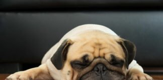 flat-faced dogs