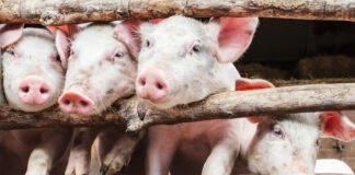 stress resilience in pigs