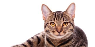 liver cancer in cats