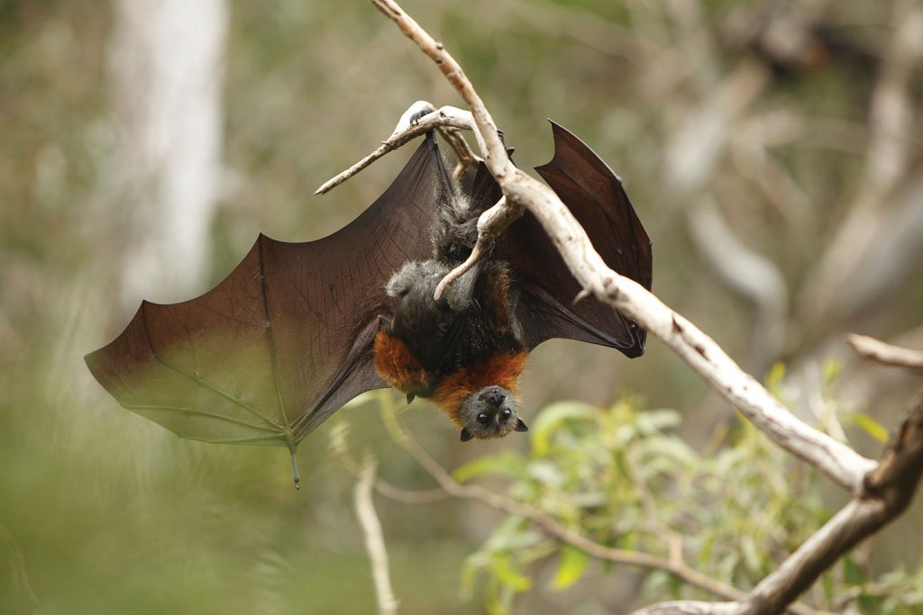 flying fox vaccination